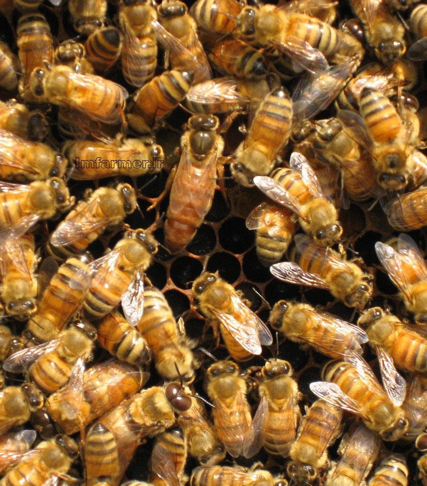 زنبور عسل3- زنبور ريز (Apis florae) 4- زنبور عسل معمولي (Apis mellifera) محصولات زنبور عسل و نحوه گردآوري آنها مي توان به شهد يا عسل و گرده زنبور عسل ويژه «موم» كه ... › ... › دانستنيها - ذخيره شده - مشابه  افغانستان | كاهش توليد عسل طبيعي در افغانستان30 جوادامه خشكسالي ها و افزايش نا آرامي ها در افغانستان سبب شده است تا محصولات زنبورهاي عسل در اين كشور به حداقل آن كاهش يابد. ...  ذخيره شده - اضافه كردن به i مجموعه آموزشي پرورش زنبور عسل به همراه فيلم و جزوه آموزشيمحصولات و ... بيش از 3 ساعت فيلم آموزشي بيش از 40 صفحه جزوه آموزشي پرورش زنبور عسل در قالب كتاب الكترونيك ( PDF ) مقالات آموزشي در رابطه با پرورش زنبور عسل ... - ذخيره شده زنبورعسل فيزيولوژي وبيماري هامرا از تغييرات محصول كد:96 زنبورعسل فيزيولوژي وبيماري ها آگاه كن. ... زنبورعسل عسل و زنبور عسل از زمانهاي بسيار دور شناخته شدهاست و در باره آن سخن گفتهاند، ... - ذخيره شده ملاس چغندرقند از مرگ و مير زنبور عسل جلوگيري ميكندسم پاشي، علاوه بر مبارزه با آفات محصولات زراعي و باغي، از تلفات سنگين زنبور عسل نيز جلوگيري ميشود و همچنين به افزايش محصولات زراعي و باغي از طريق حفاظت از ... - ذخيره شده فيلم آموزشي پرورش زنبور عسل - خريد پستي از آي آر خريد02.17 تهران: فيلم آموزشي پرورش زنبور عسل عرضه كليه محصولات به نرخ روز - نرم ... فيلم آموزشي پرورش زنبور عسل: آموزش ... زنبور+عسل... - ذخيره شده آموزش پرورش زنبور عسلفقط با صرف كمي وقت پرورش زنبور عسل را به صورت حرفه اي فرا بگيريد **يك شغل مستقل در عرصه كشاورزي ... مرا از تغييرات محصول آموزش پرورش زنبور عسل آگاه كن. ... ذخيره شده عسل - مرغوب ترين نبات زعفراني دنيااصولا زنبورعسل دو نوع محصول توليد مي كند: نوعي كه خارج كندو و نوعي كه داخل كندو توليد مي شود. محصولات توليدي زنبور عسل در خارج كندو شامل عسل، عسلك، بره موم ... ذخيره شده ساختار بدن زنبور عسل - شركت خلخال كندو -پرندهزنبور عسل يكي از حشرات مفيد براي انسان است كه متعلق به رده دوبالان ميباشد. ... خوب بايد انتظار داشت عبارتند از: آرام باشند و نيش نزنند، پر محصول باشند، بچه ... زنبور داري و پرورش زنبور عسل+طرح توجيهيزنبور داري و پرورش زنبور عسل+طرح توجيهي آموزش كتاب و سي دي cd آموزشي زنبور ... زنبور عسل شهد عسل عسل - عس
