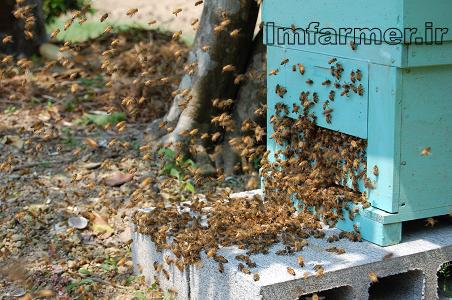 عسل ؛ ويژگيها و فوايد , طريقه تشخيص عسل طبيعي ! tebyan zanjan ...اصولا زنبورعسل دو نوع محصول توليد ميكند: نوعي كه خارج كندو و نوعي كه داخل كندو توليد مي شود. محصولات توليدي زنبور عسل در خارج كندو شامل عسل، عسلك، بره موم و ... -- ذخيره شده توسعه رشته دانشگاهي اصلاح ژنتيك زنبور عسل جدي است... رشته اصلاح ژنتيك زنبور عسل بومي در دانشگاههاي كشور يك ضرورت حتمي و جدي است. ... عسل سبلان و گاه بياعتمادي به توليد اين محصول در منطقه زرخيز سبلان هستيم. ... - ذخيره شده فرآورده هاي زنبور عسل و اهميت آن در اقتصاد صنعت زنبورداريعسل از نظر جنبه اقتصادي و كمي اولين و مهمترين محصول زنبورداري محسوب مي شود. همچنين عسل اولين محصول زنبور است كه از زمان باستان مورد استفاده بشر قرار گرفته ... - ذخيره شده فروشگاه-كشاورزي (جامع)-طرح هاي توجيهي مزارع پرورش زنبور عسلطرح هاي توجيهي مزارع پرورش زنبور عسل بازديد از اين محصول : 3076 مرتبه يكشنبه 26 اسفند 1386. طرح هاي توجيهي مزارع پرورش زنبور عسل به همراه جيره هاي پيشنهادي ... w.... - ذخيره شده - مشابه زنبور عسل - ويكيپدياباغداران و كشاورزان به خوبي از نقش زنبور عسل در باروري گياهان و افزايش محصولات كشاورزي آگاه هستند و به همين علت هيچ گاه در اجاره دادن باغهاي خود به پرورش ... زنبور_عسل - ذخيره شده - مشابه فيلم آموزشي پرورش زنبور عسل - جستجويفيلم آموزشي پرورش زنبور عسل. نام محصول: فيلم آموزشي پرورش زنبور عسل. قيمت: 6500 تومان. آموزش پرورش زنبور عسل در اين مجموعه آموزشي كه به همت جمعي از . ...  - ذخيره شده زنبور عسل2- محصولاتي كه از تغذيه مستقيم زنبور عسل ابتياع شده ودرنهايت محصول زنبور عسل در اختيار مصرف كنندگان قرار مي گيرد ... عسل شكلات :عسل شكلات حاصل فرآوري كاكائو ... زنبور-عسل./T____2__زنبور-عسل.htm - ذخيره شده معرفي زنبور عسل و عسل - تالار گفتگوي پرشين پت8 مه 2010 ... اين ماده زرين، غـني و فـوق الـعـاده محصول معجزه آساي زنبـورهــاي عسل است و جايگزين منـاسبـي بـراي شـكـر سفيد به شـمـار مـي رود. ...  - ذخيره شده عسل طبيعي زنبورهاي وحشي(عسل شهد گلهاي درخت كنار) - Nz ...با اين مقدمه براي شما و خوانندگان محترم محصولات زنبور عسل و خواص دارويي آن را توضيح مي دهيم؛محصولات زنبور عسل : 1- عسل 2- ژله رويال يا ژله سلطنتي 3- موم 4- ...  - ذخيره شده عسل - 