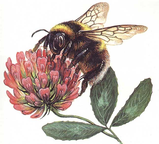 Розово-вишнёвая метель - закрутилась лета карусель, на лугах цветная акварель, сел на клевер добрый толстый шмель.